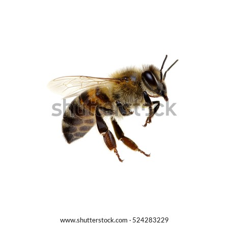 Bee isolated on the white #524283229