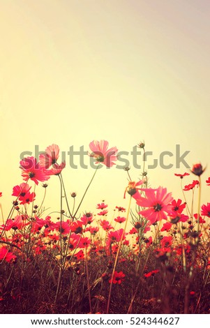 Pink Cosmos flowers with sky #524344627