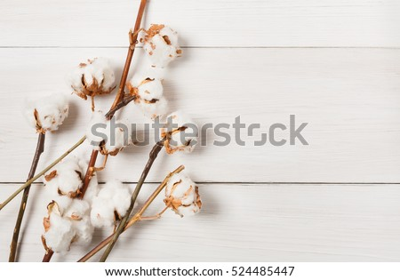 Autumn composition. Dried white fluffy cotton flower top view on white wood with copy space. Floral composition #524485447