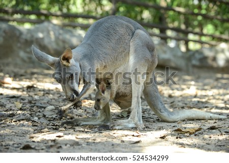 joey (baby kangaroo) in  the pouch #524534299