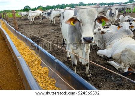 confined cattle #524565592