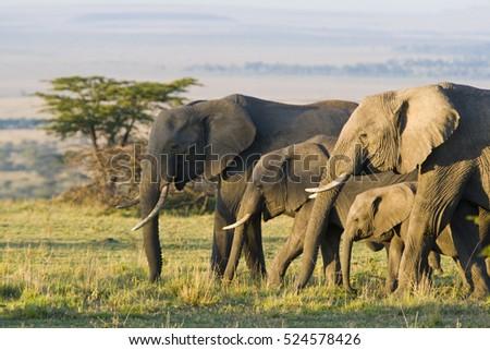 African Elephants on the Masai Mara, Kenya, Africa Royalty-Free Stock Photo #524578426
