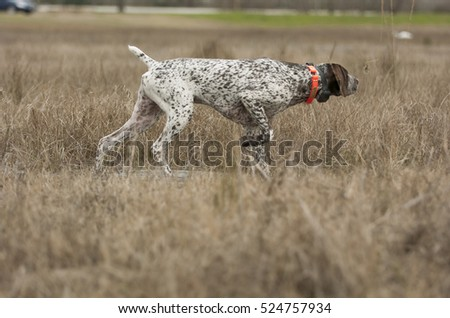 German Shorthaired Pointer dog in grass Royalty-Free Stock Photo #524757934
