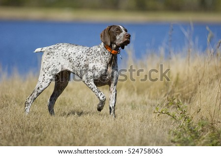 German Shorthaired Pointer dog by water #524758063