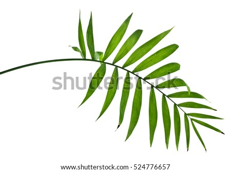 Green leaves of palm tree on white background #524776657