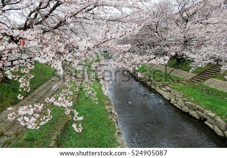 Beautiful archway of pink cherry tree blossoms (Sakura Namiki) by the river bank of a canal in Fukiage City, Konosu, Saitama, Japan ~ Romantic spring scenery of Japanese countryside in sakura season #524905087