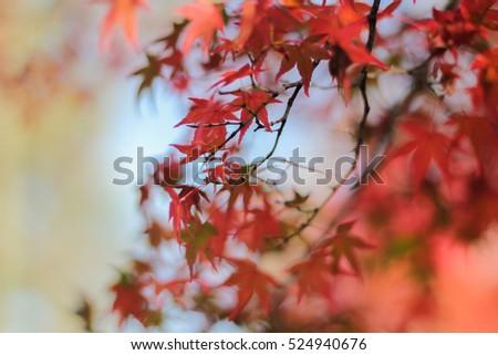 Maple leaf in autumn, Japan #524940676