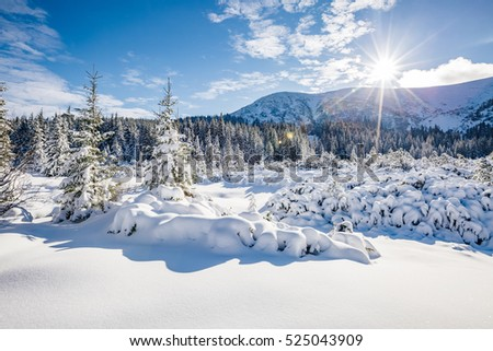 Great white spruces glowing by sunlight. Magnificent and gorgeous wintry scene. Location place Carpathian national park, Ukraine, Europe. Alps ski resort. Beauty world. Blue toning. Happy New Year!