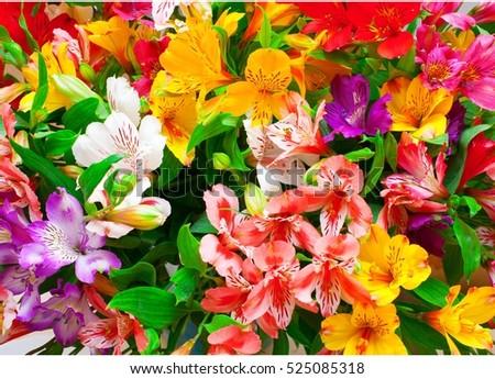 Lilium orientale Almeria. bouquet of colorful flowers. close up. #525085318