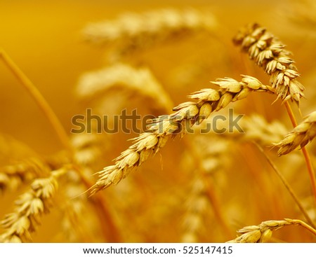 Wheat closeup. Wheat field. Background of ripening ears of wheat. Harvest and food concept #525147415