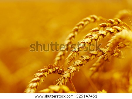 Wheat closeup.  Harvest and food concept #525147451