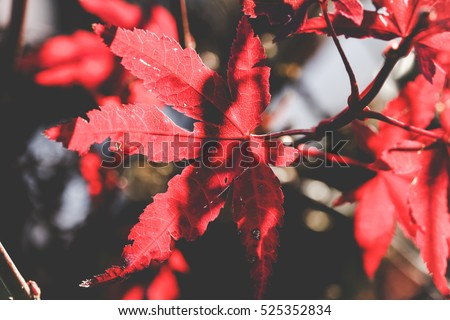 Red autumn colored leaves closeup with a blurred background #525352834