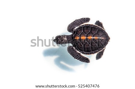 Baby sea Turtle floating in the water with shadow on Isolated background.