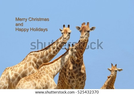 African wildlife giraffe family, Merry Christmas and Happy Holidays message text, Africa