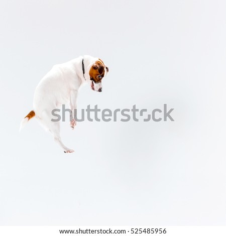 Small Jack Russell Terrier playing on white background #525485956