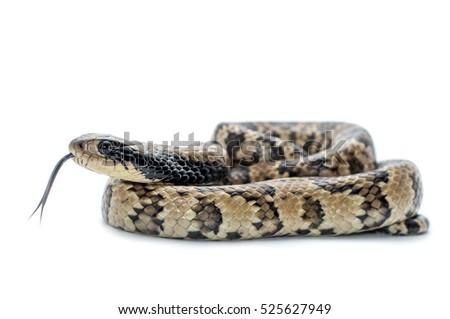 false water cobra snake isolated on white background #525627949