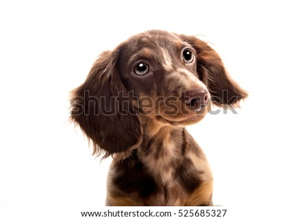 Small dachshund dog on a white background #525685327