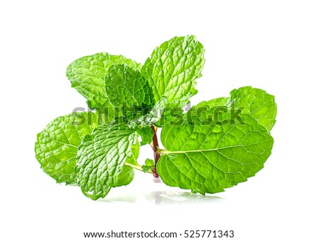 Mint leaf green plants isolated on white background, peppermint aromatic properties of strong teeth and fresh ivy as a ground cover plant types #525771343