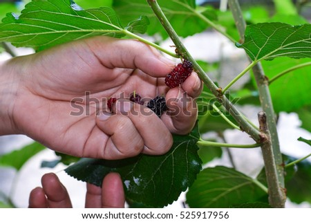 Hand of Farmers picking Mulberry #525917956