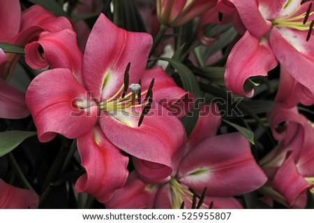 Close up of the flowering Lilium 'Robina' #525955807