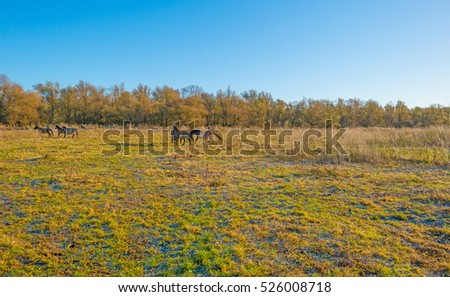 Horses in frozen wetland in sunlight #526008718
