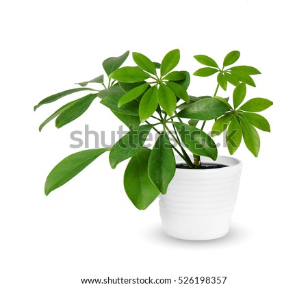 young Schefflera a potted plant isolated over white Royalty-Free Stock Photo #526198357