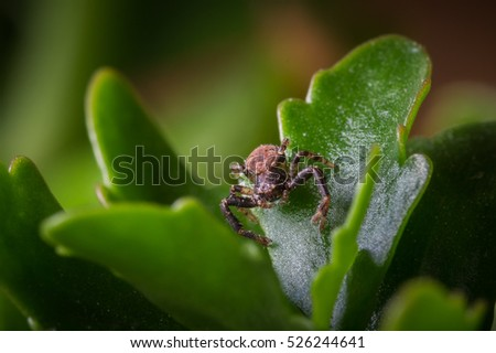 A macro shot of a brown and black ground crab spider sitting on a green leaf waiting for prey #526244641
