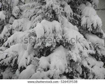 Snow covered pine tree #526419538