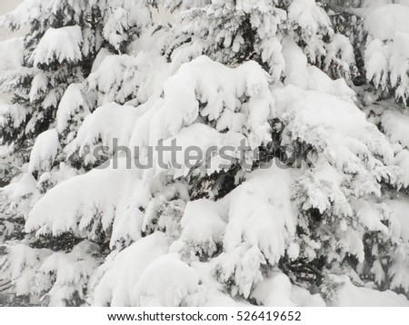 Snow covered pine tree #526419652