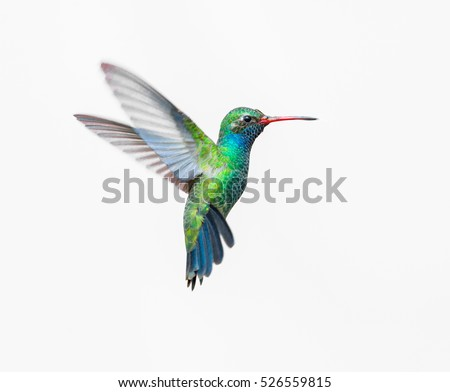 Broad Billed Hummingbird on a pure white background. Using different backgrounds the bird becomes more interesting and can easily be isolated for a project. These birds are native to Mexico. Royalty-Free Stock Photo #526559815