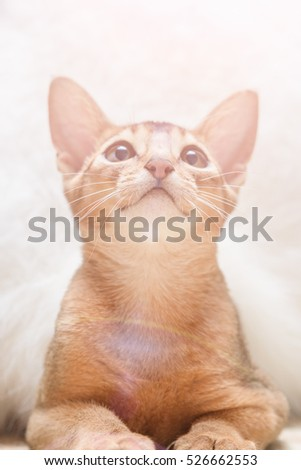Beautiful Abyssinian cat under fluffy white blanket. Toned #526662553