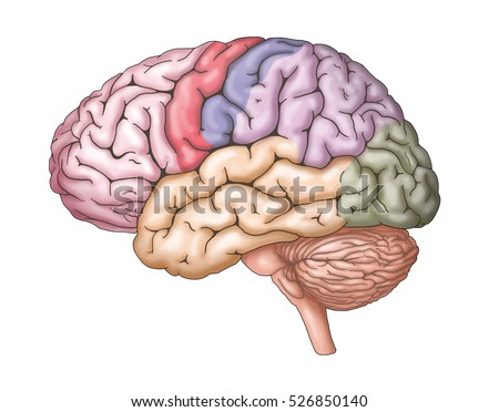 Human brain anatomy structure/ illustration