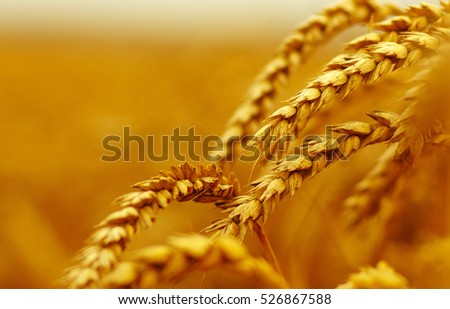 Wheat closeup.  Harvest and food concept #526867588
