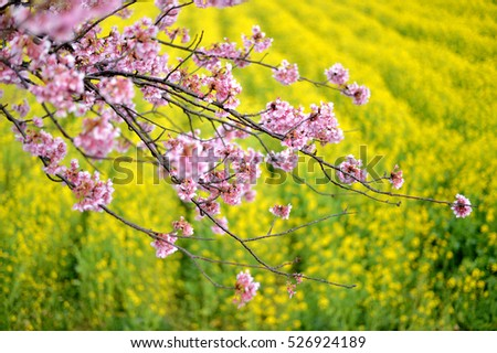 Beautiful Cherry Blossom branch above field of mustard flowers. #526924189