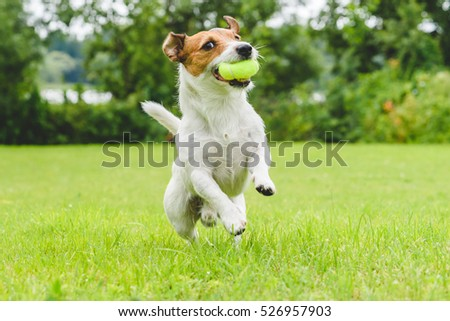 Jack Russell Terrier running and jumping on camera #526957903