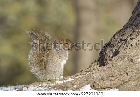 Grey Squirrel  in winter #527201980