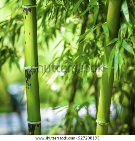 Bamboo #527208193