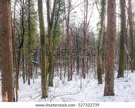 Forest covered with snow #527322739
