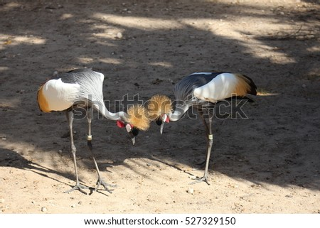 East African Crowned Crane #527329150