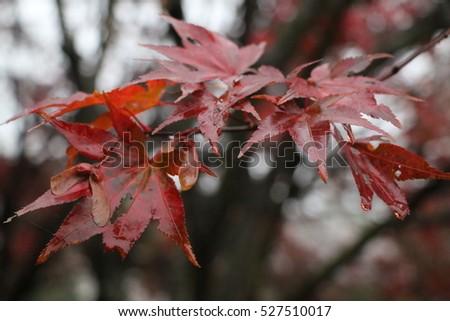 maple leaf in autumn #527510017