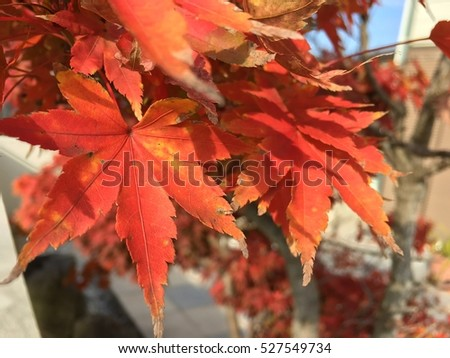 Beautiful red Japanese maple in the garden #527549734