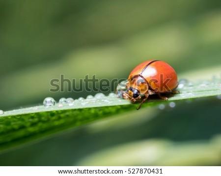 Ladybug with drops of dew #527870431