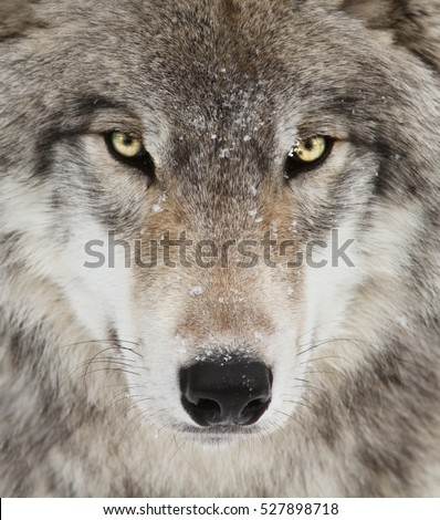 Timber wolf portrait. A close-up photo of a menacing wolf with a yellow eyes #527898718