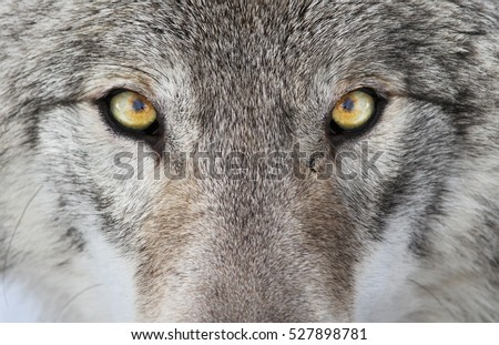 Timber wolf portrait. A close-up photo of a menacing wolf with a yellow eyes #527898781