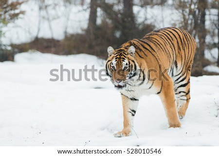 tiger walking through the snow toward the camera with forest in the background #528010546