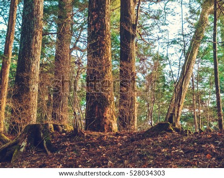 trees at typical japanese forest #528034303