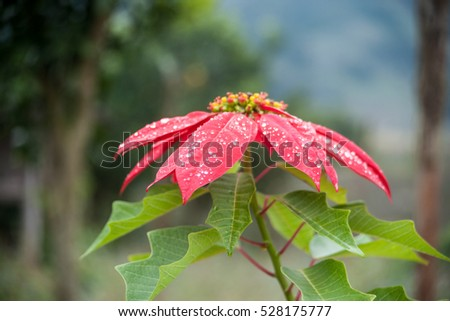 Big red flower of poinsettia growing in a garden. Beautiful background picture of flowers.