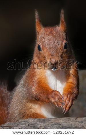 Red squirrel #528251692