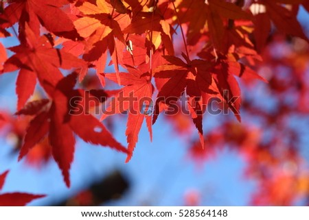 Leaf of a maple at night which turns red #528564148