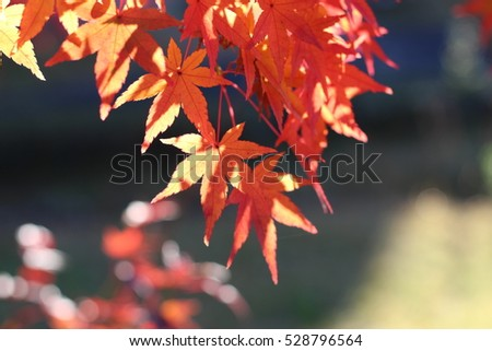 Leaf of a maple which turns red #528796564